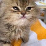 Saving Nala: Sip & Purr Cat Café rescues homeless Egyptian kitten