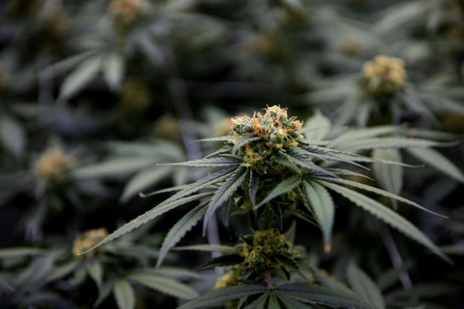 103119_marijuanaexpungement_02a