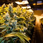 Wisconsin proposes legalization of recreational marijuana to provide more tax revenue and create jobs